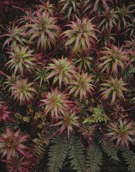 Dracophyllum Portrait, Rockburn