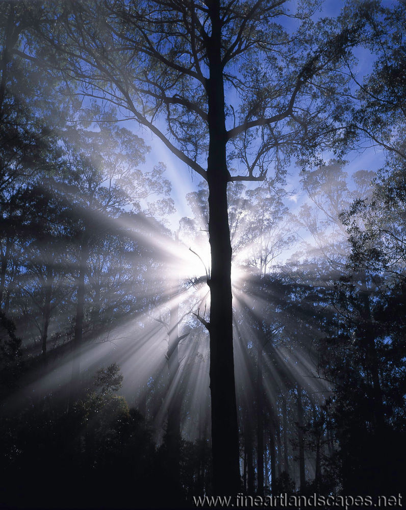 Sunburst in Shining Gum Forest