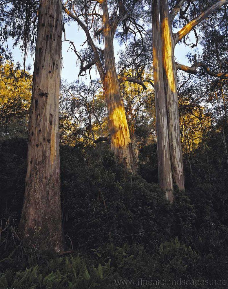 Evening light, Shining Gum forest