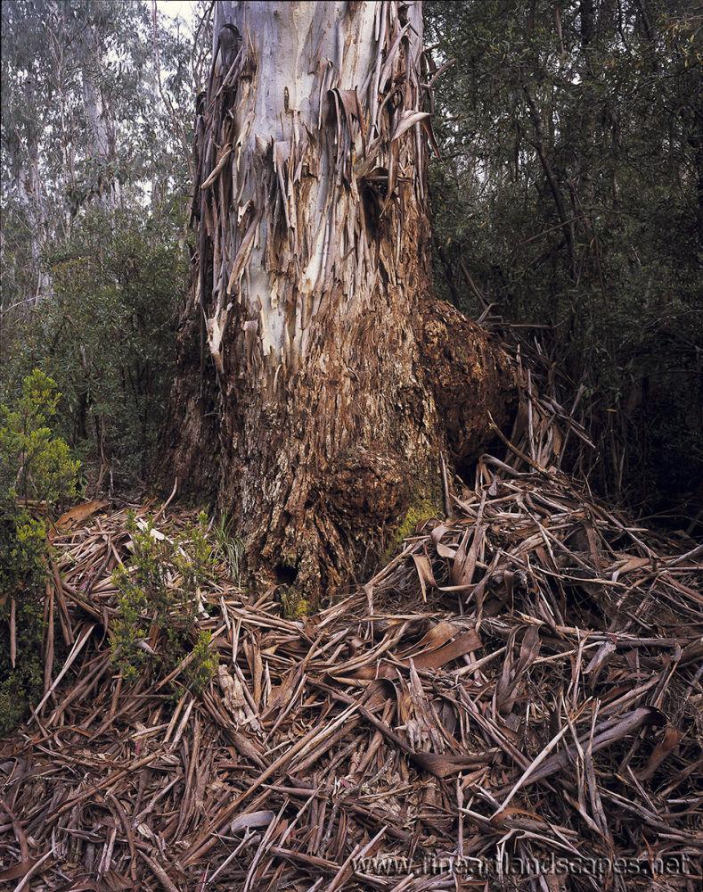 Fallen bark, Tea Tree Flat