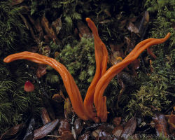 Flame Fungus Tarkine