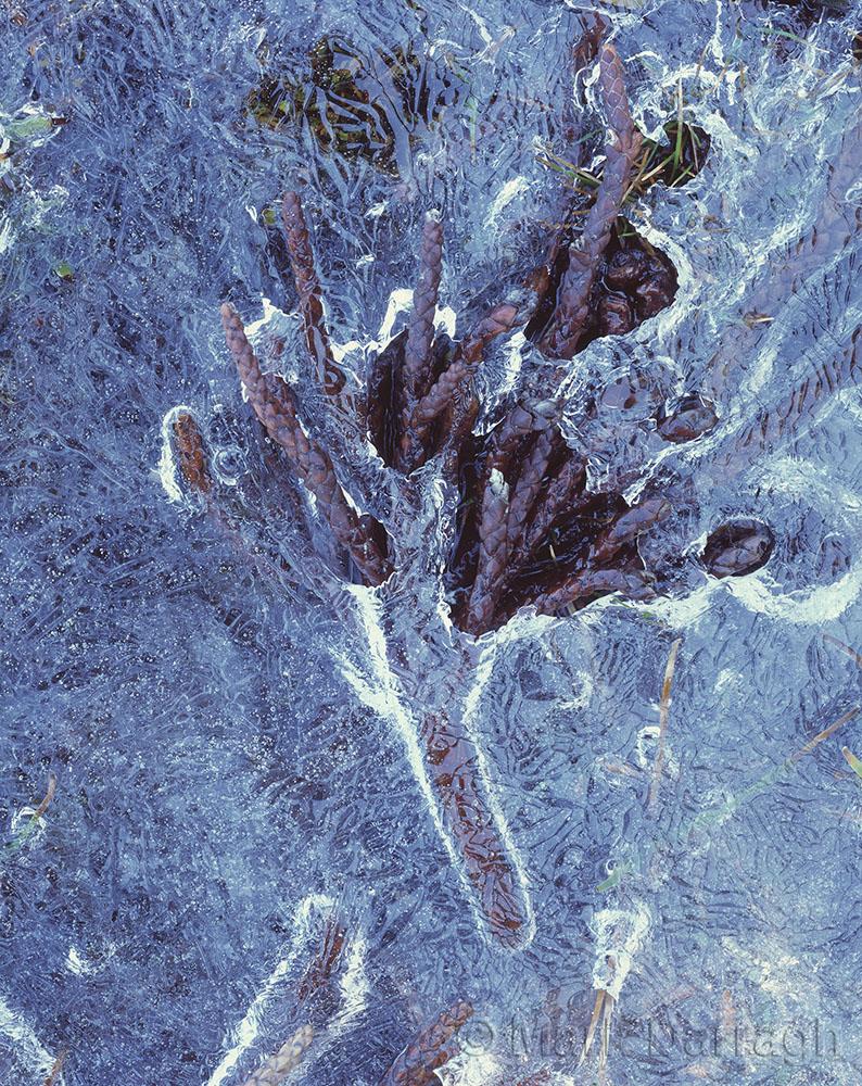 Pencil Pine Branchlet in Ice