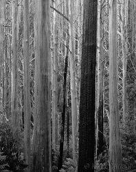 Mountain Ash, Yarra Ranges