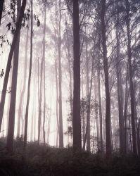 Morning Mist in Mountain Ash ( Eucalyptus regnans) Forest
