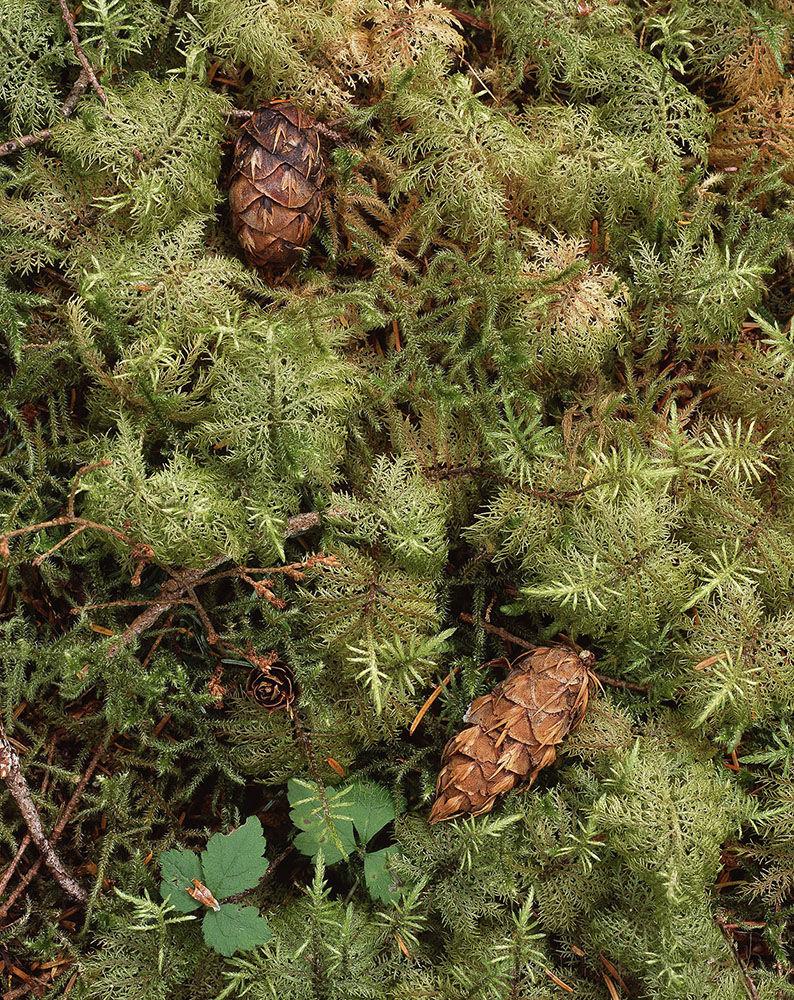 Douglas Fir cones and mosses