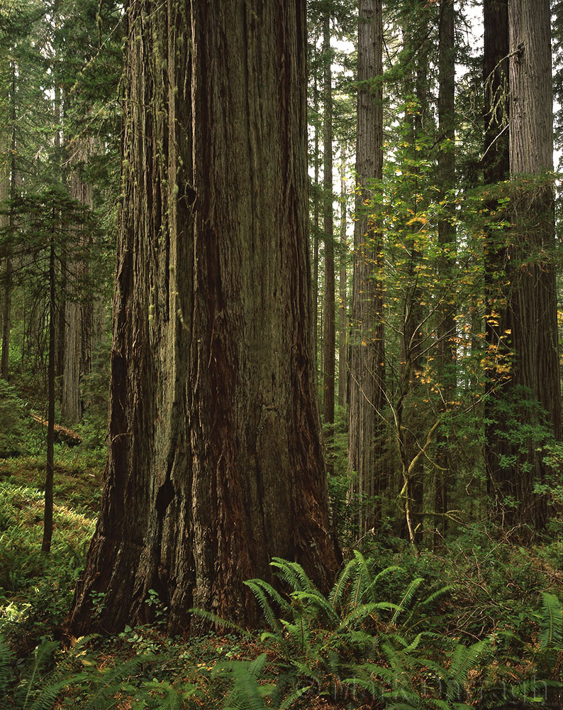 Redwoods and Maple, Del Norte