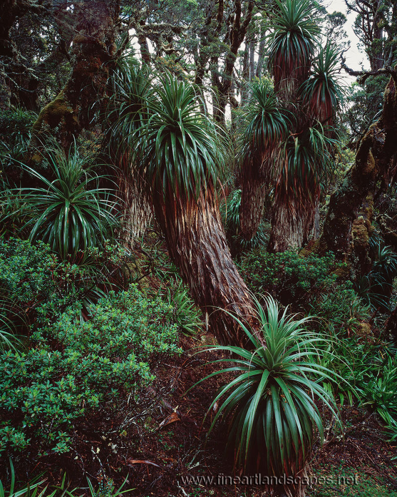 <em>Richea pandanifolia<em/> grove, Mt Anne