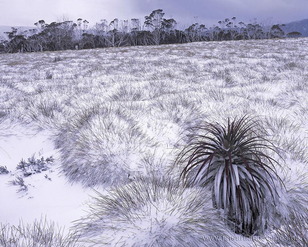 Richea in Snow