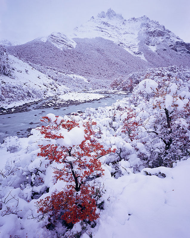 Autumn Snow covering Lenga (<em>Nothofagus antarctica<em/>)