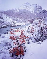 Autumn Snow covering Lenga (Nothofagus antarctica)