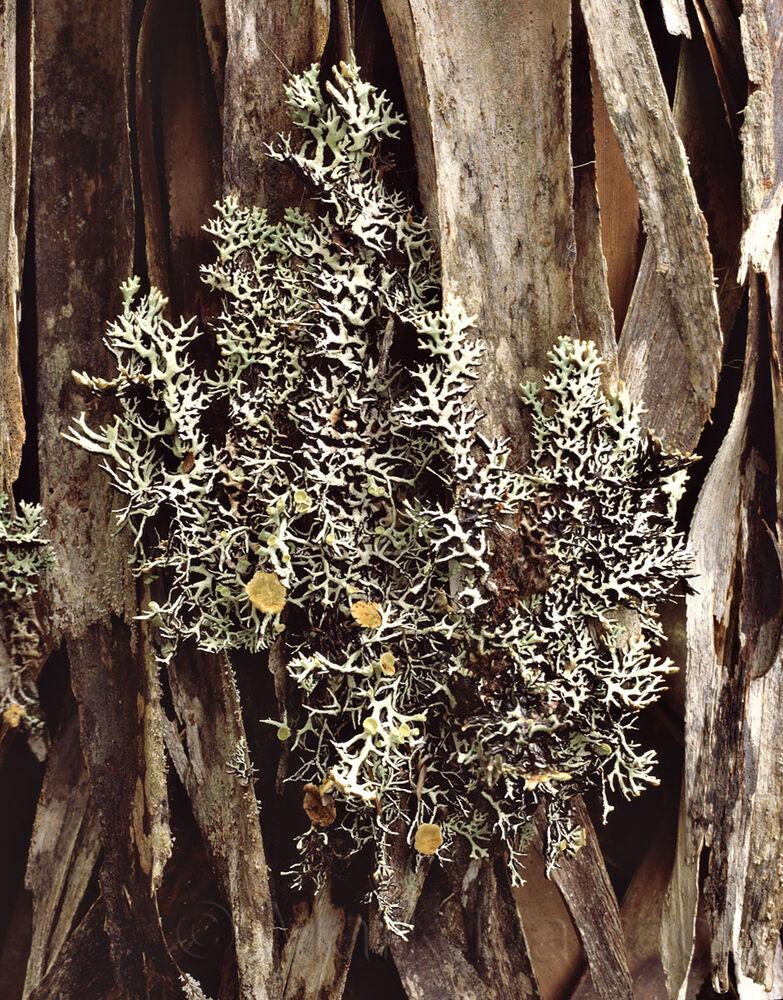 Richea and Lichen