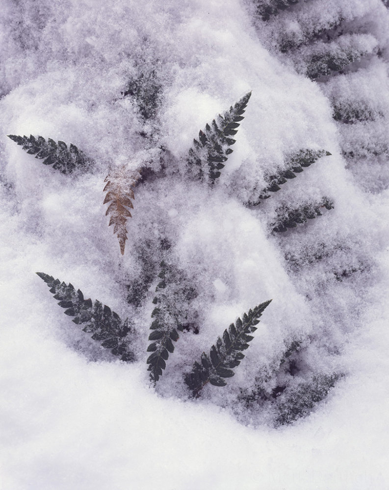 Tree fern and snow
