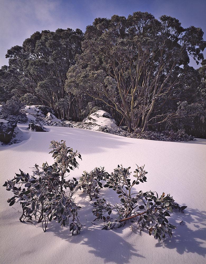 Morning light on Snow Gums