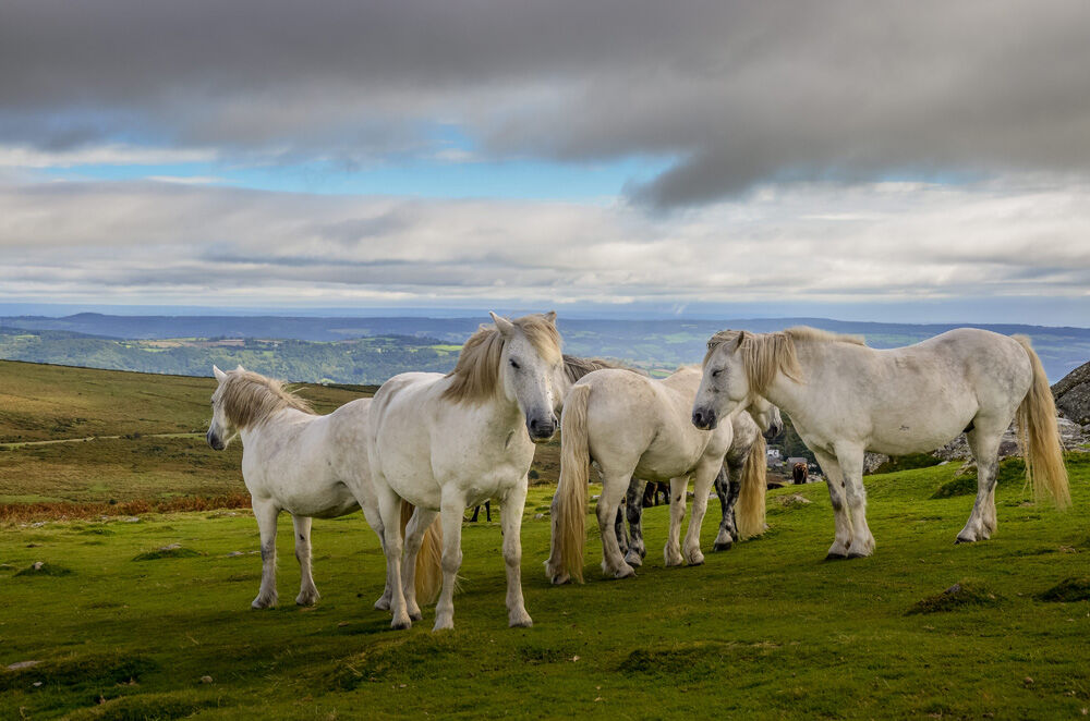 White Horses of Dartmoor (1 of 1)