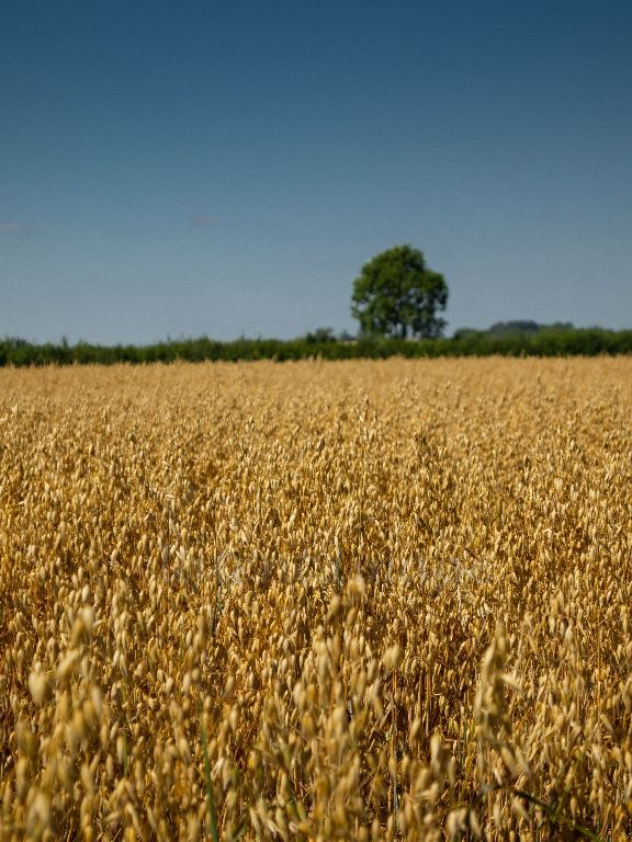Field of Gold 1