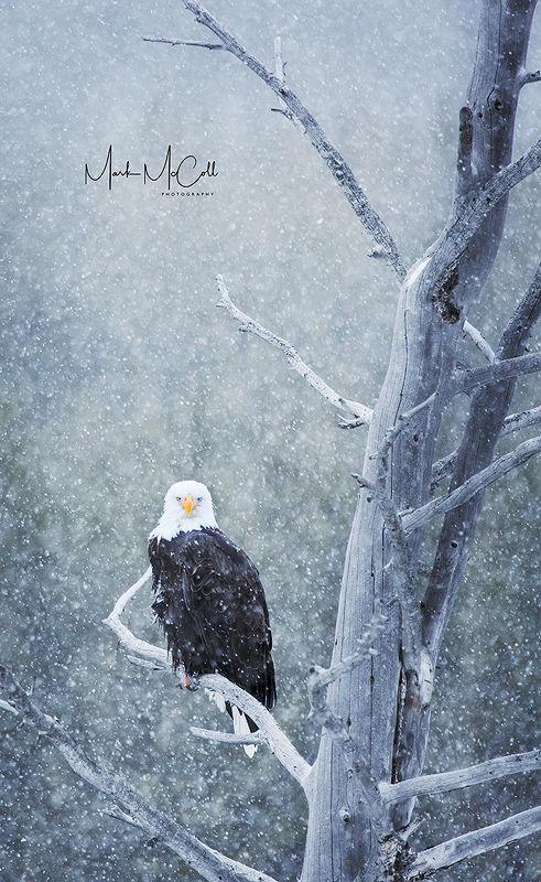 Bald eagle in snowstorm, Yellowstone NP, Montana
