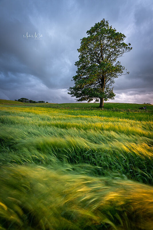 Summer tree, Ayrshire, Scotland