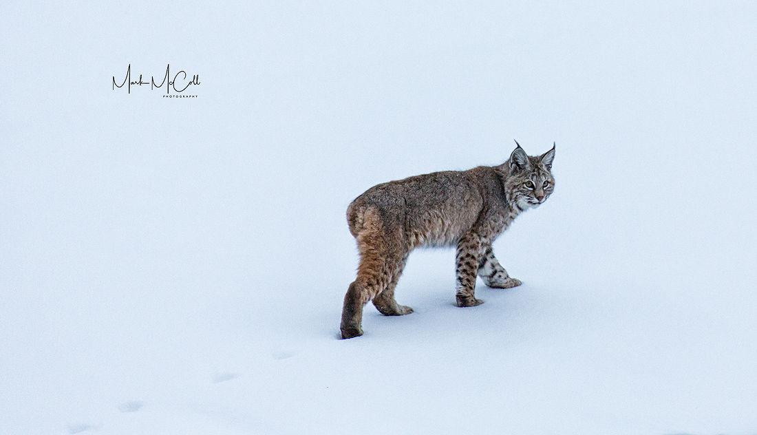 Bobcat, Yellowstone NP, Montana, USA