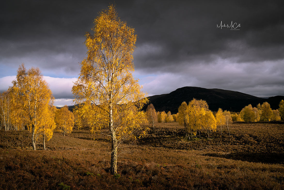 Autumn birch colours, Cairngorm national park, Scotland