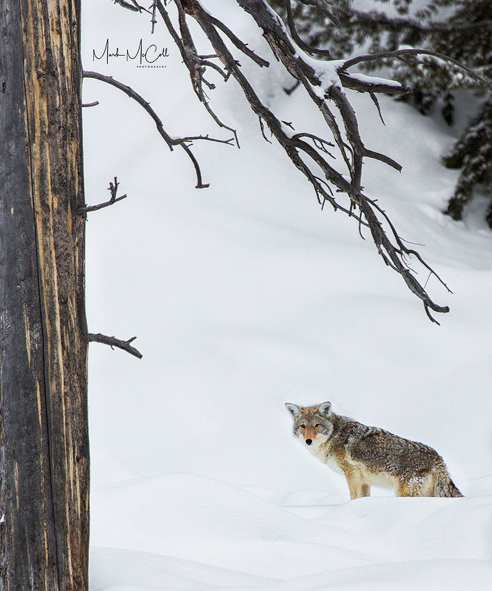 Wiley Coyote, Yellowstone NP, Montana
