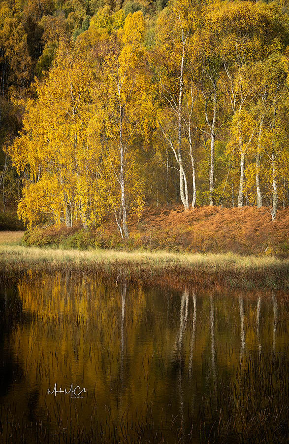 Reflected birch trees in Autumn, Cairngorms, Scotland