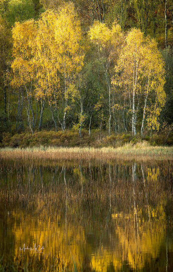 Reflected autumnal birch trees, Cairngorms, Scotland