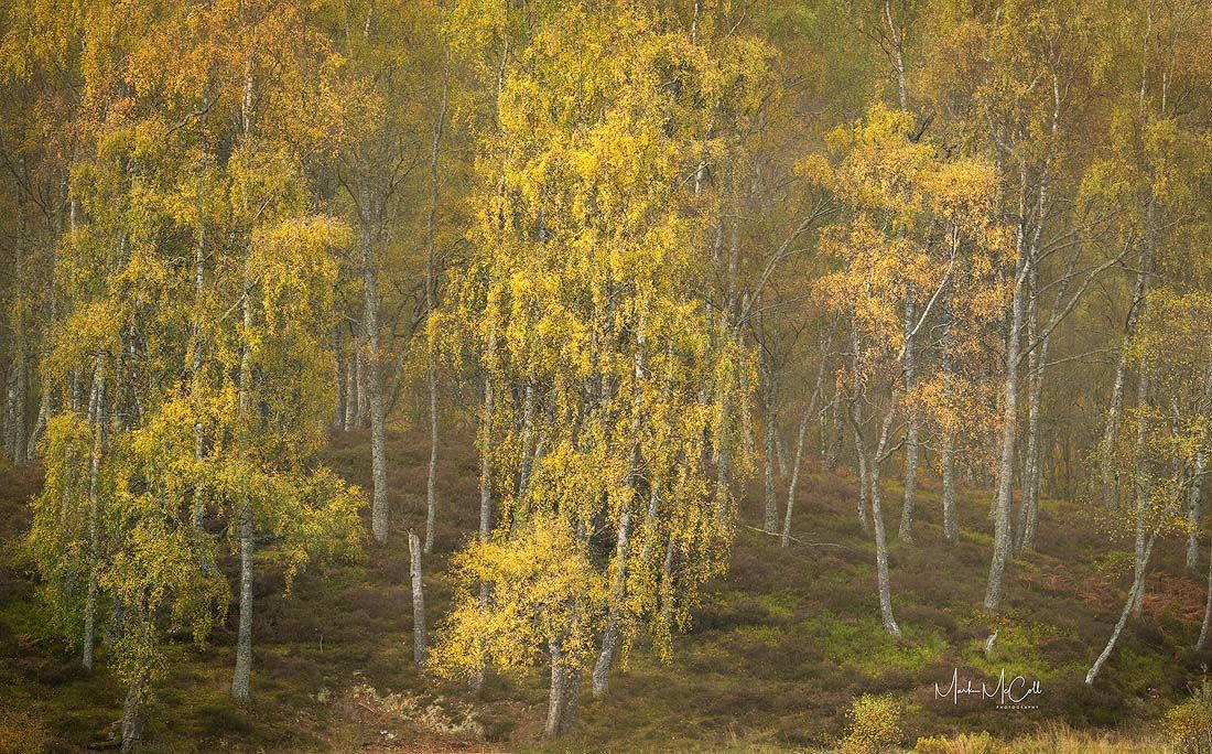Autumnal forest, Cairngorms, Scotland