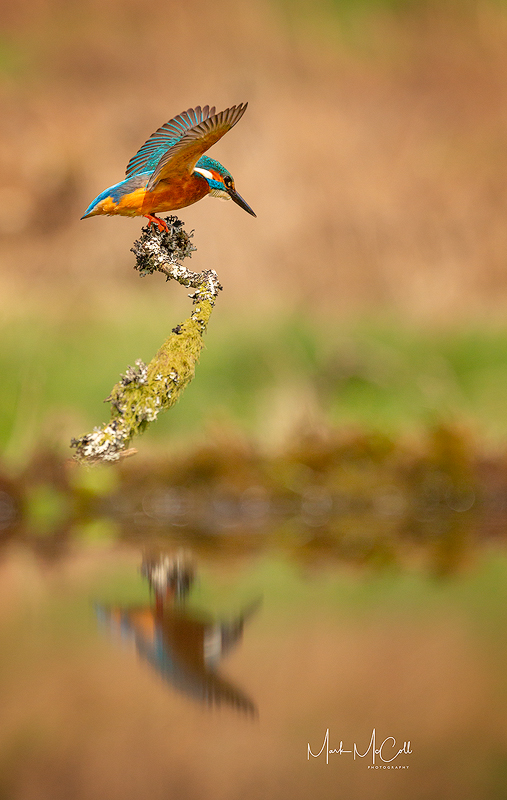 Kingfisher stretching wings, Dumfries and Galloway