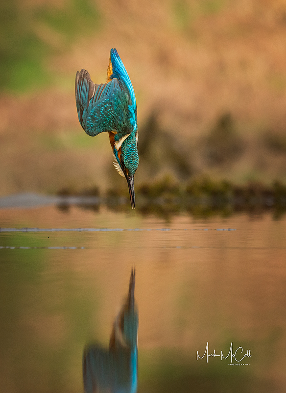 Torpedo...diving Kingfisher