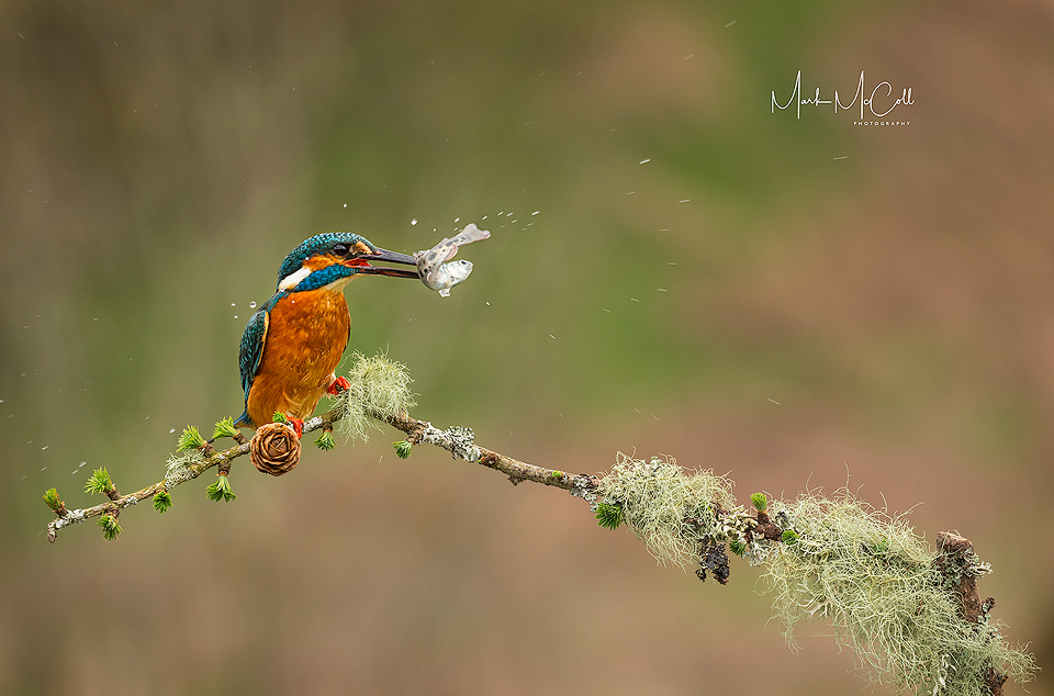 Give it a shake...Kingfisher with minnow