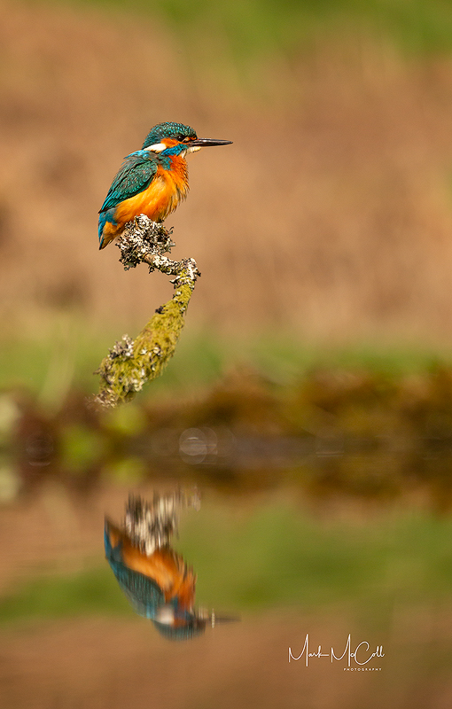 Reflected Kingfisher