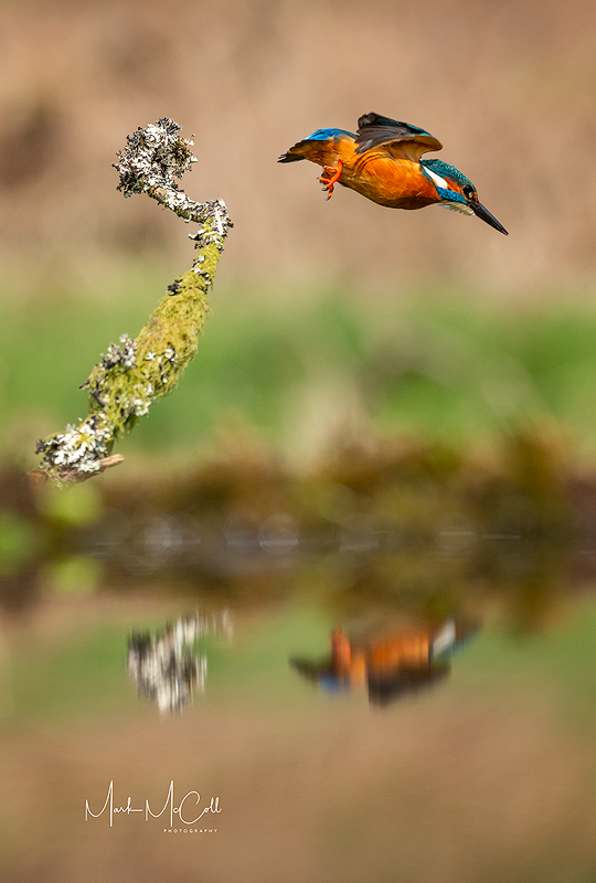 Kingfisher take-off