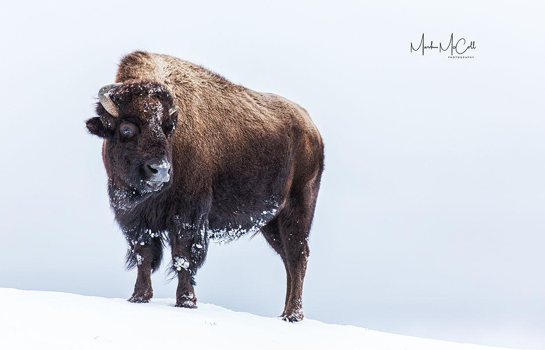 Defiant, Yellowstone NP, Montana
