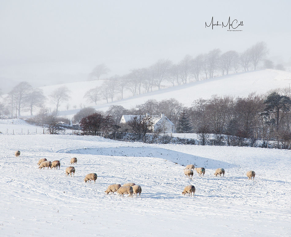 Sheep, ice and mist