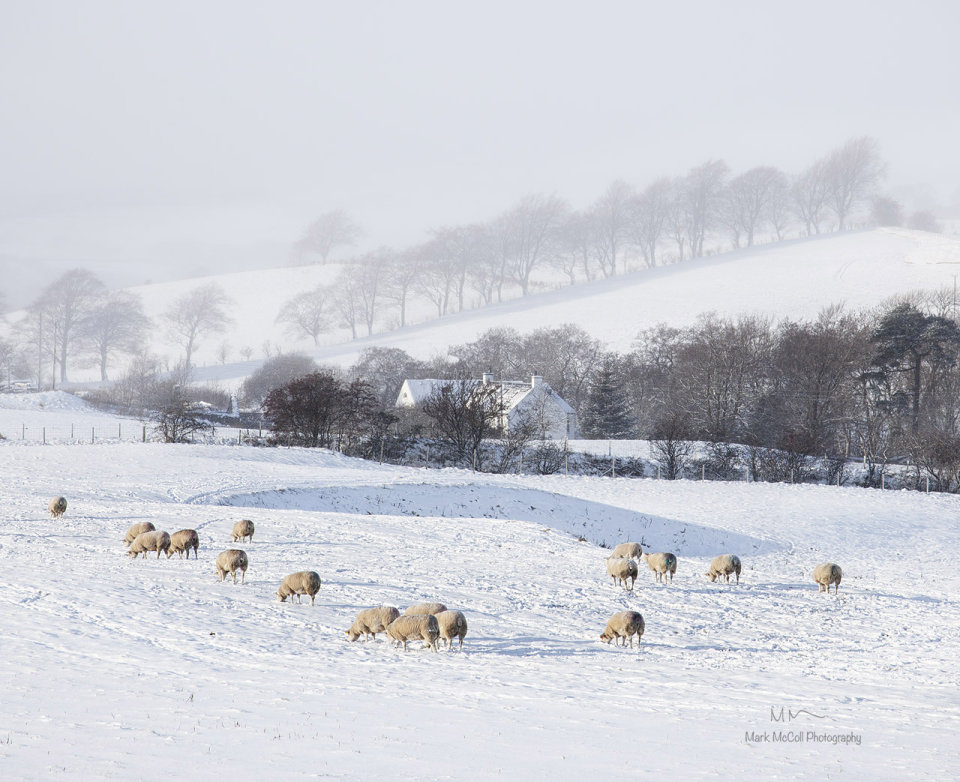 Sheep, ice and mist
