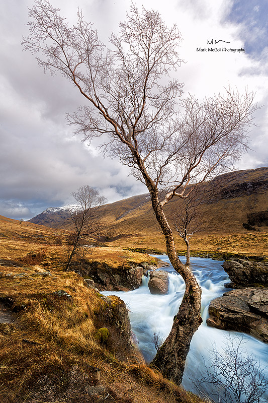 Meandering birch, Glencoe