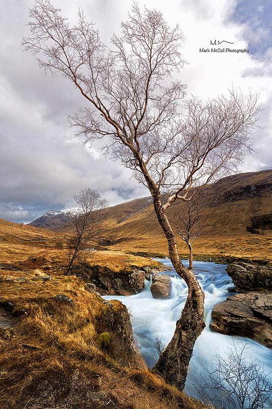 Meandering birch, Glencoe