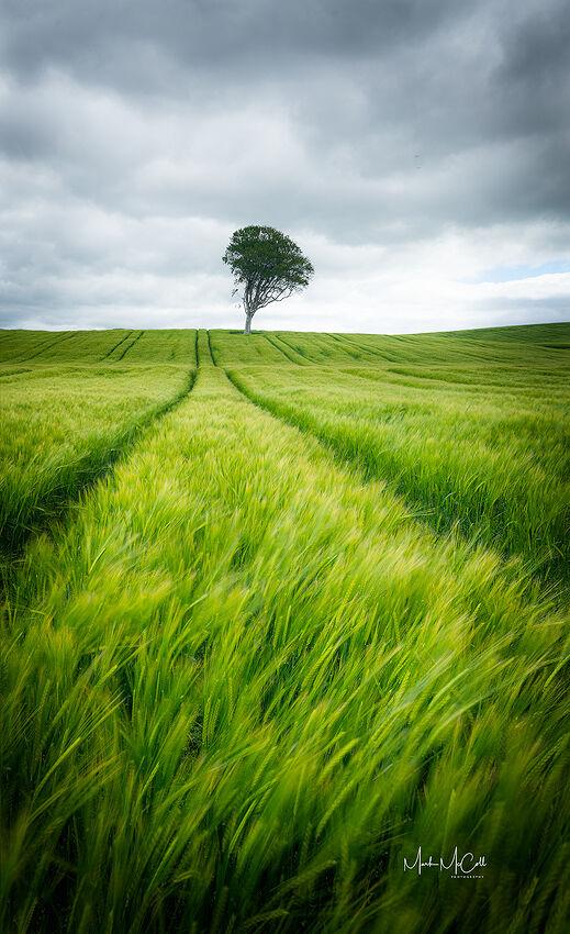 Smmer Barley, Ayrshire, Scotland