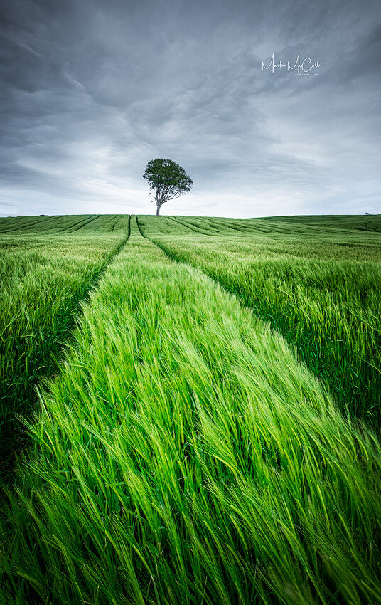 Barley field in late spring, Ayrshire, Scotland