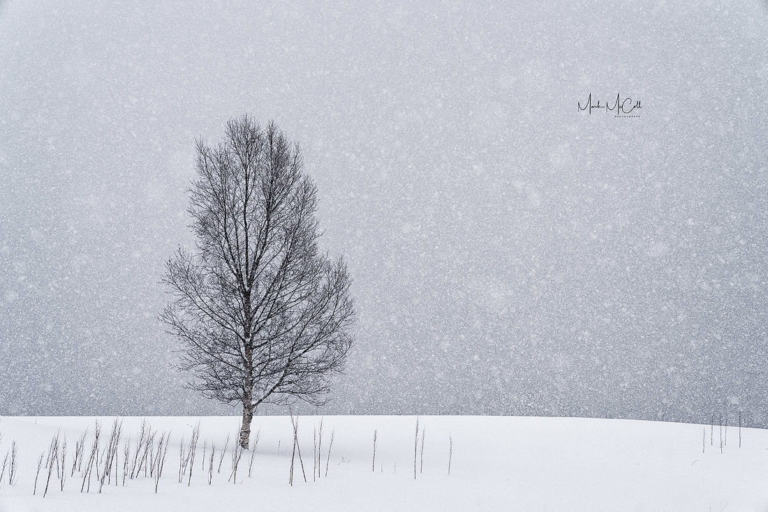 Birch in snowstorm, arctic Norway