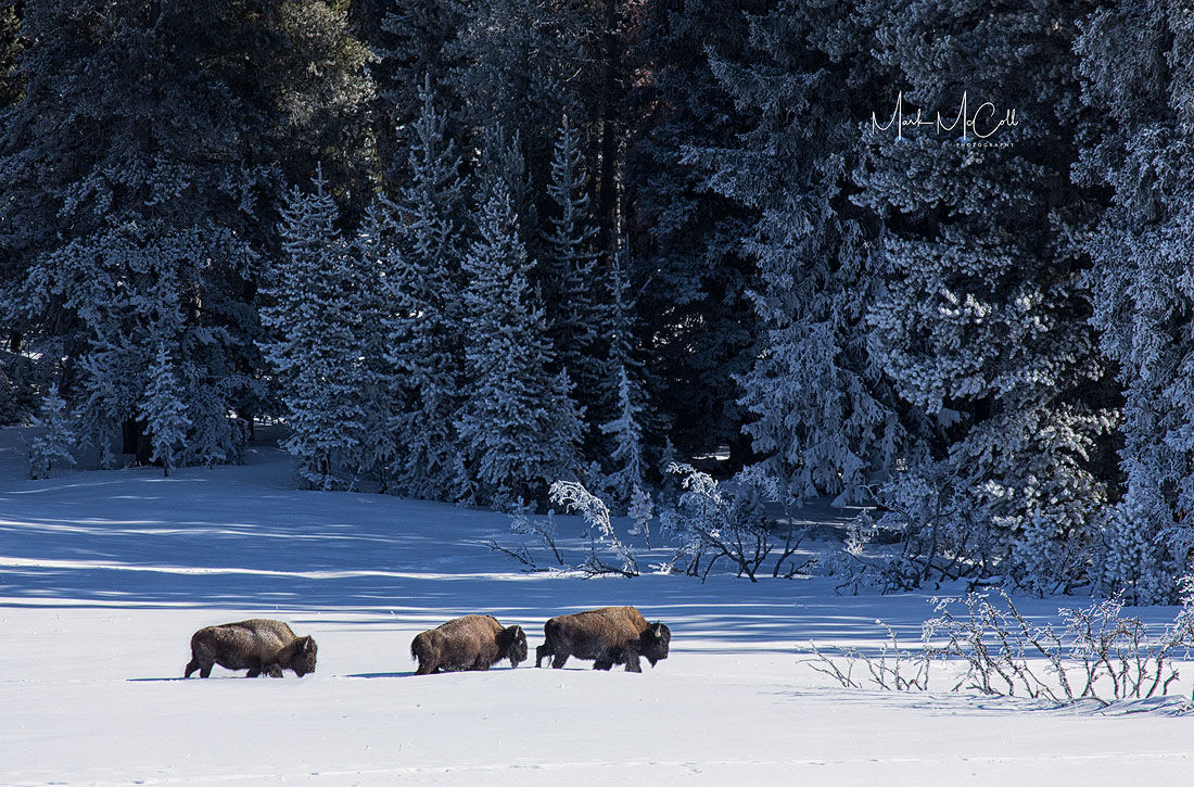 Bison in winter, Yellowstone NP, Montana
