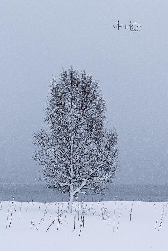 Tree in snow, Senja, arctic Norway