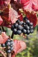 Grapes, St. Martin's Vinyard