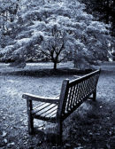Bench and Maple Tree