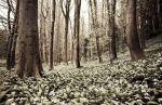 Snowdrops, Vale of Glamorgan