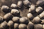 Giant Tortoise nursery