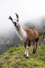 Llama, Inca Tral