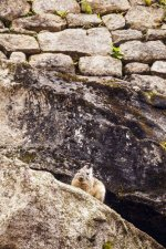 Viscacha, Machu Picchu