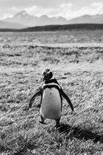 Magellanic penguin walking