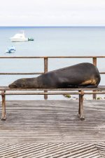 Galapagos Sealion on bench
